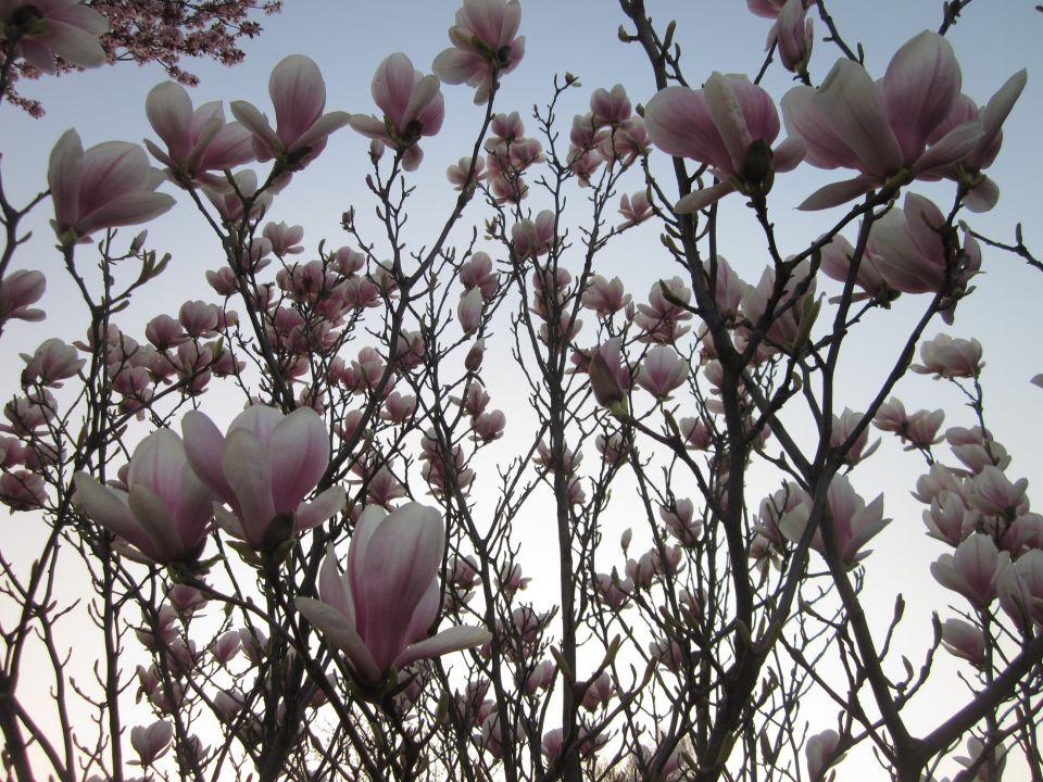 Magnolien im März